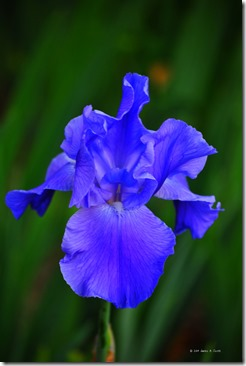 blue iris 2