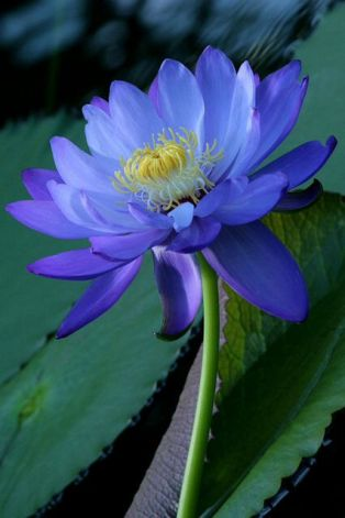 Blue lily2