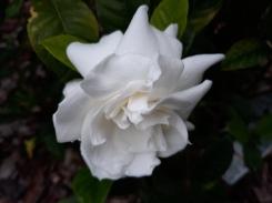 Gardenia from my garden