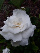 Gardenia in my yard