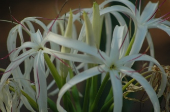 spider lily, front yard