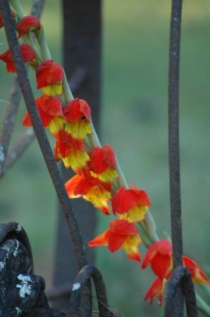 wild Gladiolias