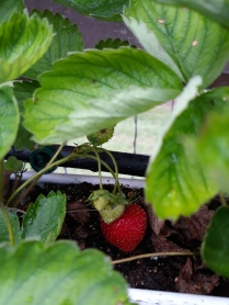hidden strawberry